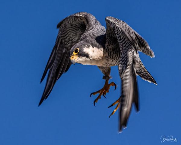 Peregrine Falcon in flight II