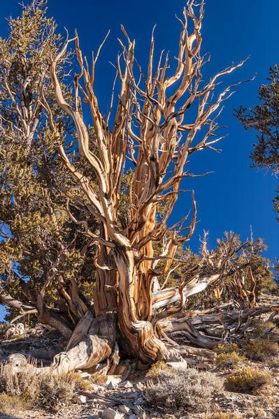 """Great Bristlecone Pine Tree"" print | Jim Parkin Fine Art Photography"