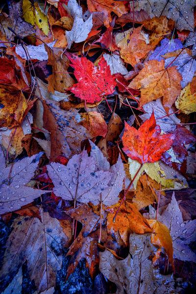 Wet Leaves | Shop Photography by Rick Berk