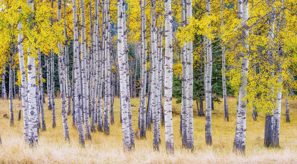 Golden Birch Art | Nelson Fine Art Printing