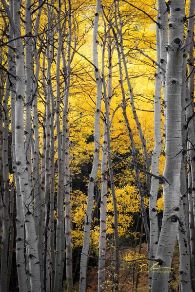 Aspens After The Rain Photography Art | Casey Chinn Photography LLC