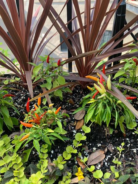 Savannah Peppers Art | Nisha Strain