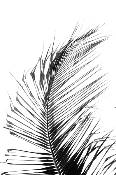 Coconut Tree Branch Photography Art | David Louis Klein