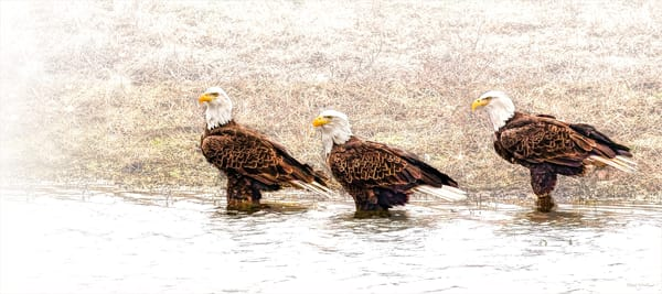 Lets Go Wading   Bald Eagles 9127 High Key Photography Art | Koral Martin Fine Art Photography