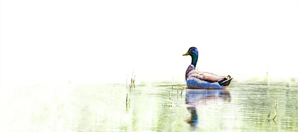 Just A Swimmin'   Mallard Duck 1251 High Key Photography Art | Koral Martin Fine Art Photography