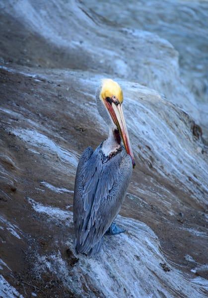 California Brown Pelican Art