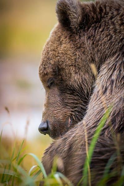 Brown Bear Eating Salmon Dinner In Alaska