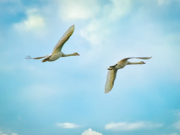 Swan Pair Aloft   Morning  Art   Mark Roger Bailey   Fine Art Photography
