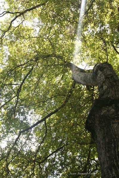 See The Light Through An Oak Tree Art | Susan Searway Art & Design