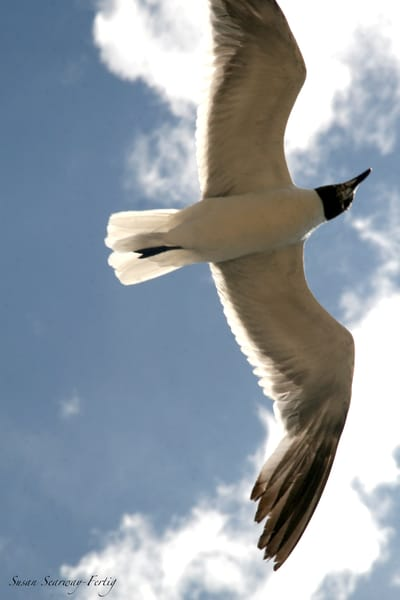 Soaring Gull Art | Susan Searway Art & Design