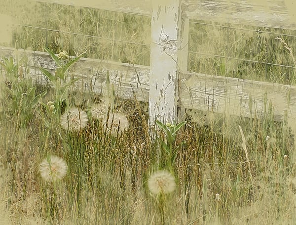 Dandelions On Huffaker Lane Art | Art from the Soul
