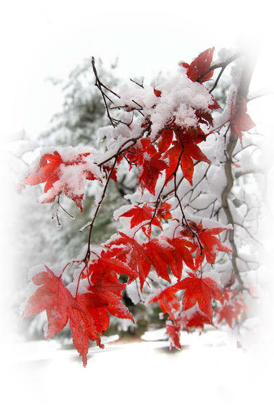 Japanese Maple Early Snow Photography Art | Robert Vielee Photography