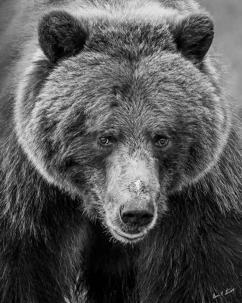 Bear Majesty In Black White Art | Alaska Wild Bear Photography