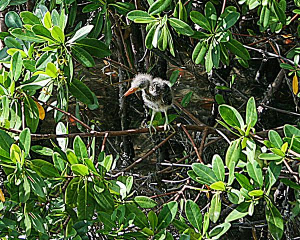 Green Heron Chick Photography Art | It's Your World - Enjoy!