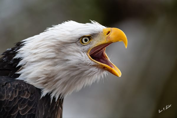 The Eagles Call Art   Alaska Wild Bear Photography