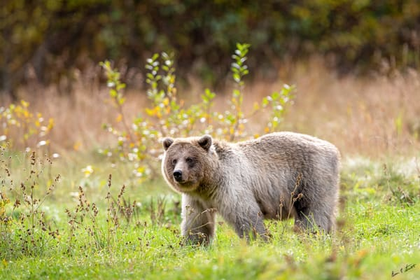 Silver Bear In Fall Art | Alaska Wild Bear Photography