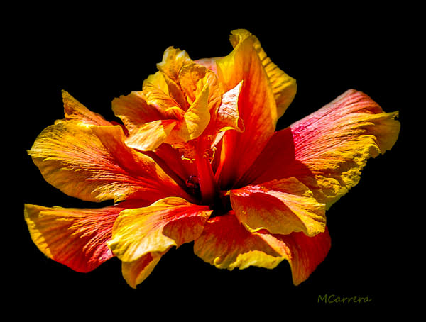 Orange Hibiscus Print