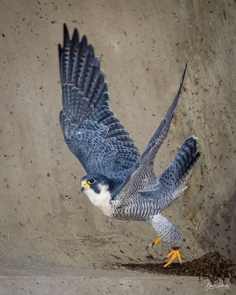 Peregrine Falcon Lift-Off