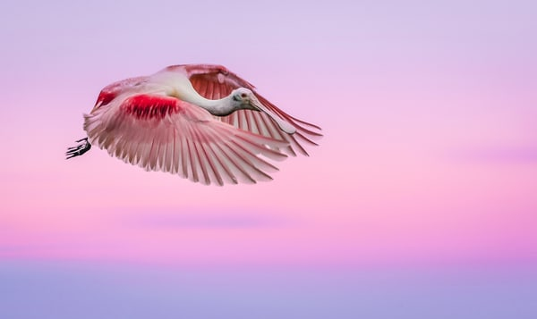 An explosion of pink- a flying rosetta spoonbill