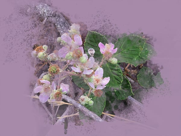 Fading Blackberry Blossoms  Art   Art from the Soul