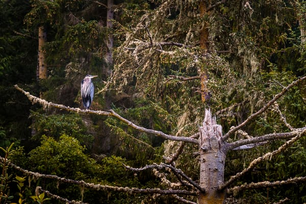 Heron in a Tree, Deception Pass State Park, Washington, 2016