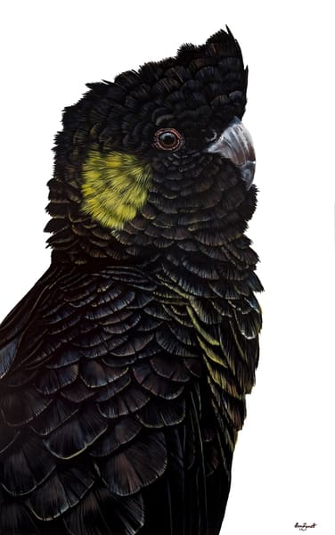 Frederick - Yellow-tailed Black Cockatoo