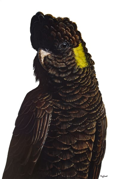 Fleur - Yellow-tailed Black Cockatoo