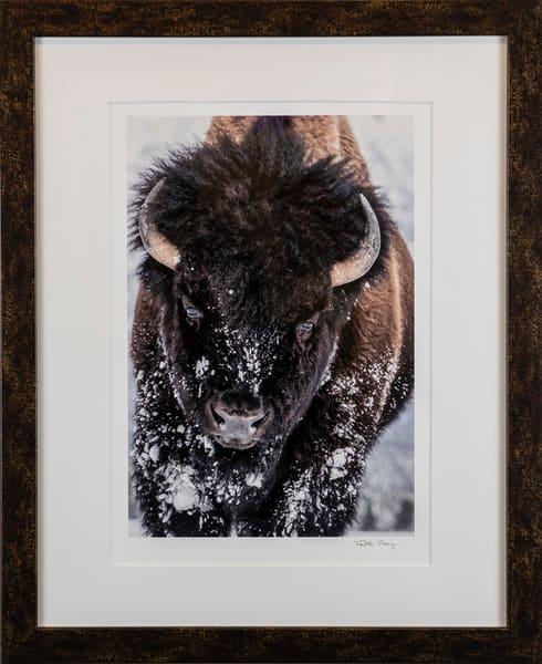 Bison, buffalo, snow, brown, framed, Cynthia Fleury,