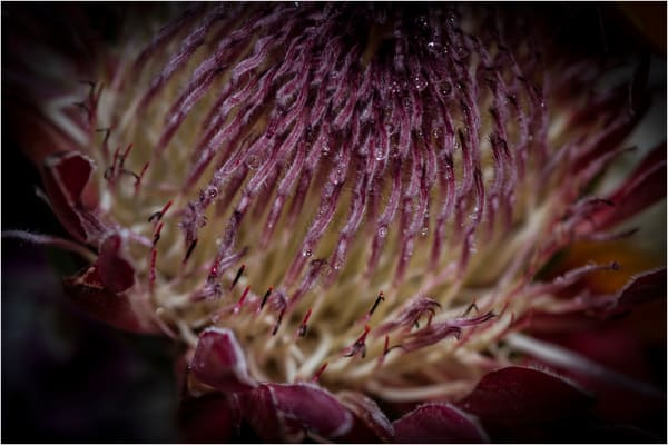 Protea Photography Art | Ed Sancious - Stillness In Change