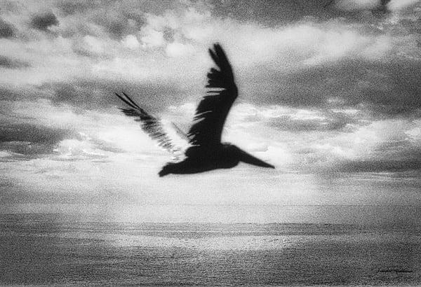 dreams, pelicans, fascination, prehistoric, shape, elegance, flight, capture, fancy, imagination, jackierobbinsstudio, photographicprints, buyartonline
