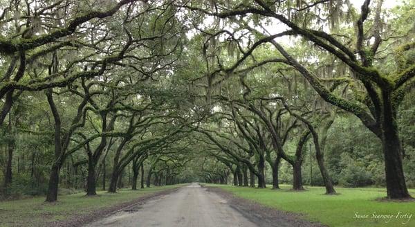 Avenue Of Live Oaks Art | Susan Searway Art & Design