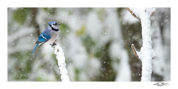 Photo of a Blue Jay on a snowy day.