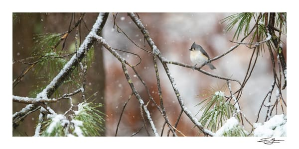 Photograph of a tufted titmouse in the snow.
