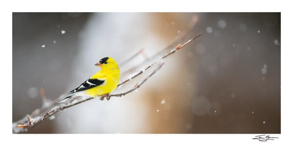 American goldfinch in the snow.