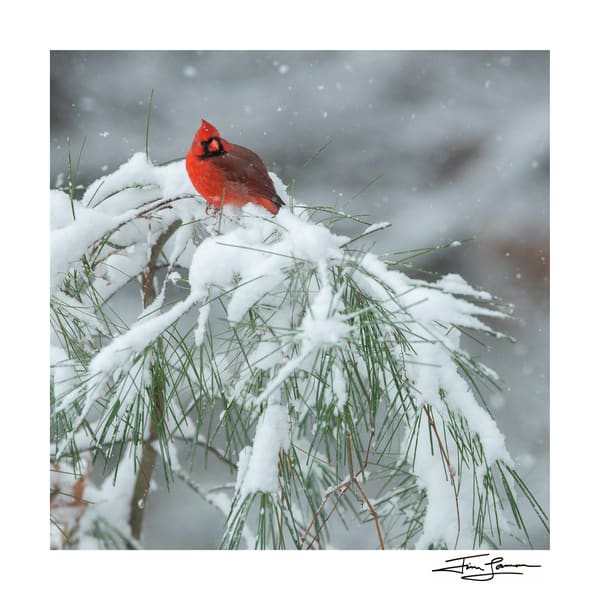 Northern Cardinal perched on a white pine sapling.