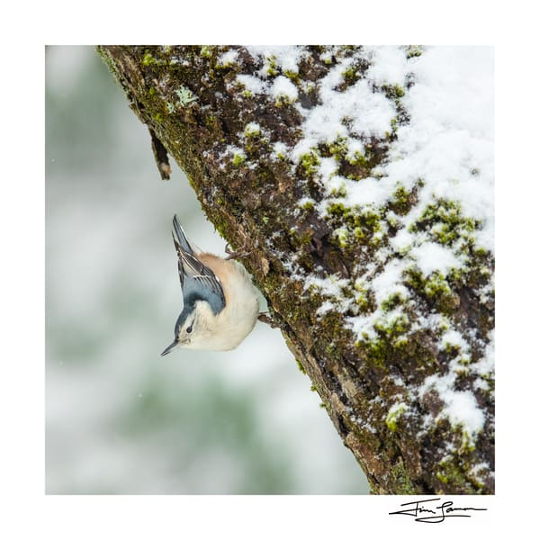 Nuthatch on a snowy tree.