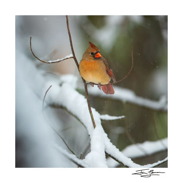 Northern Cardinal female in the snow.