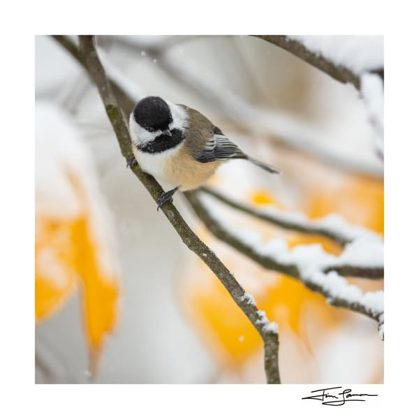 Black-capped chickadee art print on paper or acrylic.