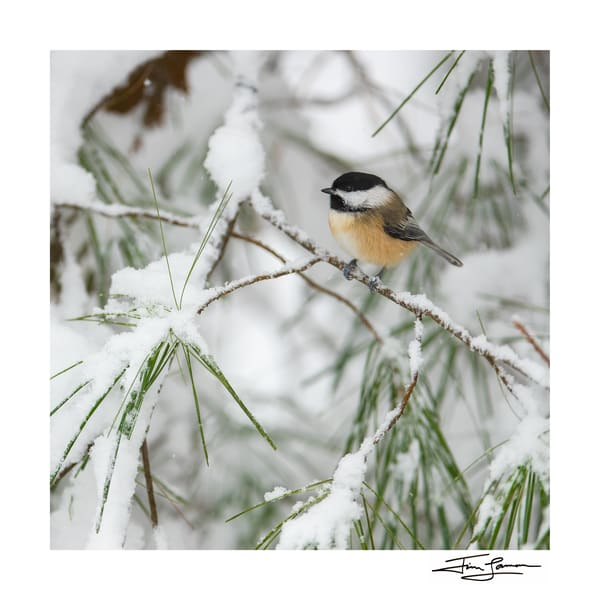 Black-capped Chickadee in the snow on paper or acrylic.