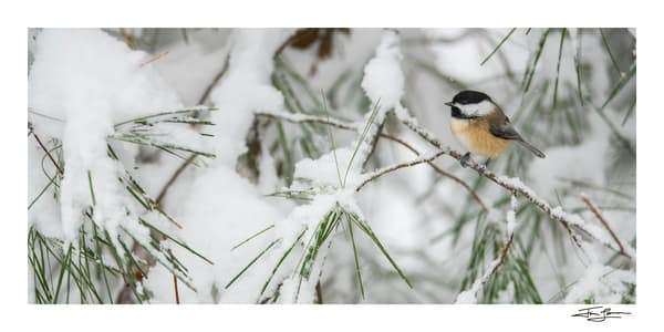 Chickadee On A Snowy Pine Branch (Wide) Photography Art | Tim Laman