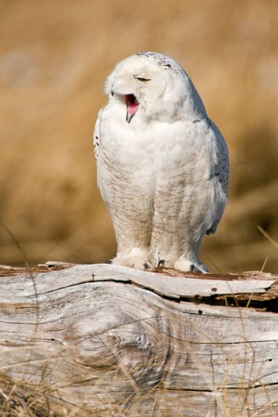 Yawning Snowy Owl