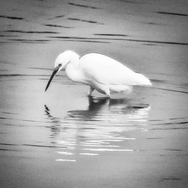 Egret, waterbirds, mirrorimage, beauty, natural, black&whitephotography, photographicprints, jackierobbinsstudio, buyartonline