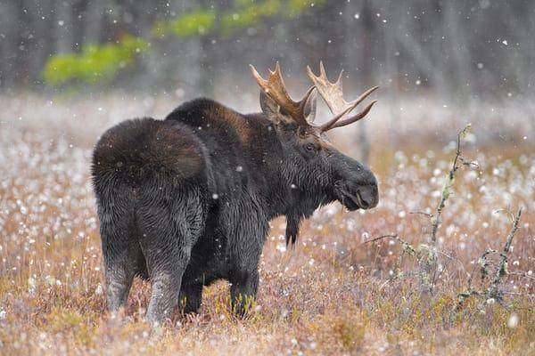 Bull Moose in Cotton Grass