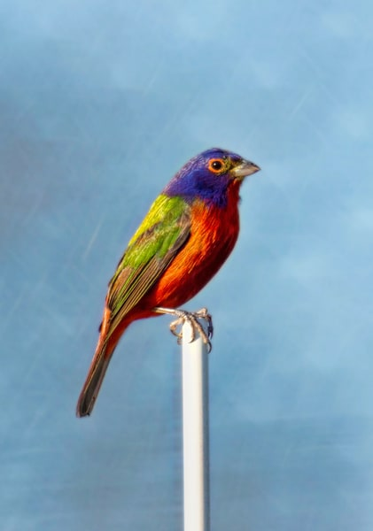 Painted Bunting Photography Art | Cooper Captures Gallery