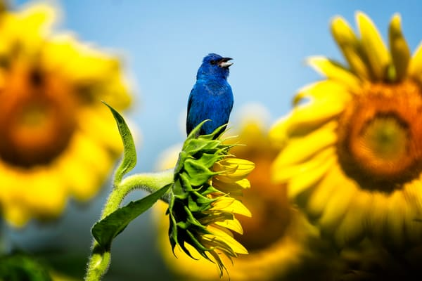 Indigo Bunting On Sunflowers Photography Art | Cooper Captures Gallery