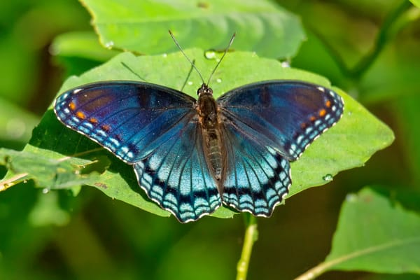 Red Spotted Purple Butterfly Photography Art | Cooper Captures Gallery