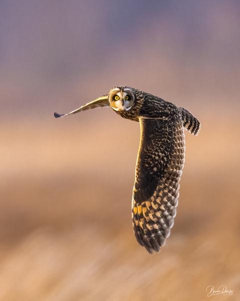 Short Eared Owl in Flight V