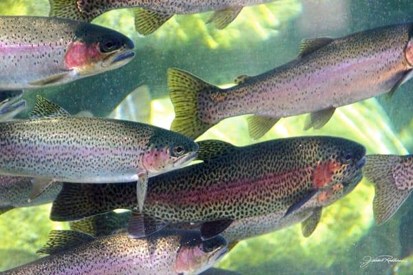 migration, swimming, upstream, mating, irridescent, trout, upclose, jackierobbinsstudio, photographicprints, buyartonline