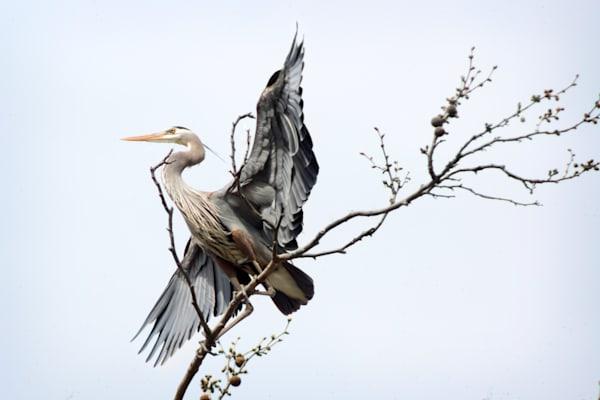 Great Blue Heron Photography Art   Cooper Captures Gallery