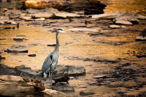 Great Blue Heron On The River Photography Art | Cooper Captures Gallery